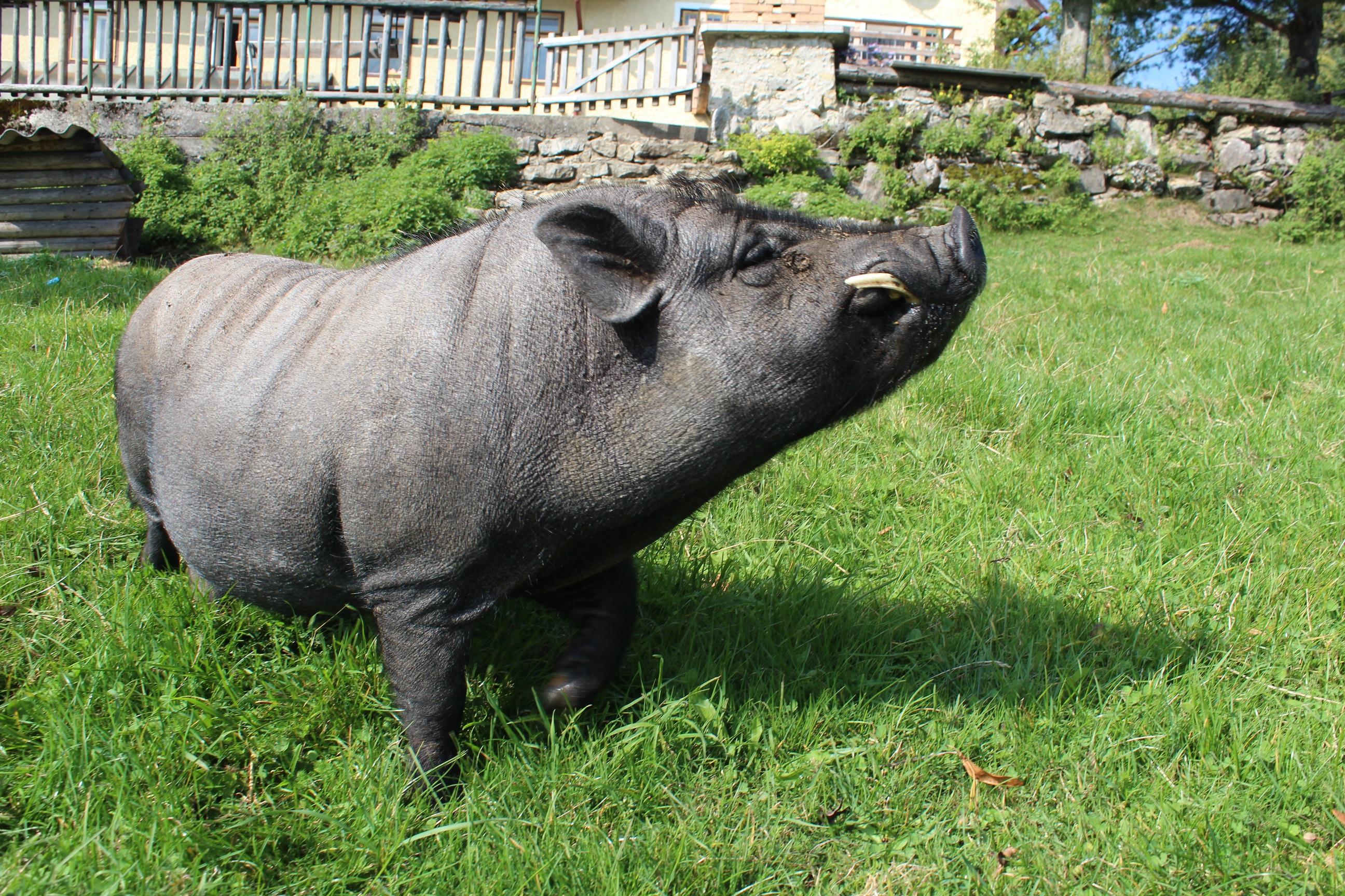 Ein Schwein auf der Wiese