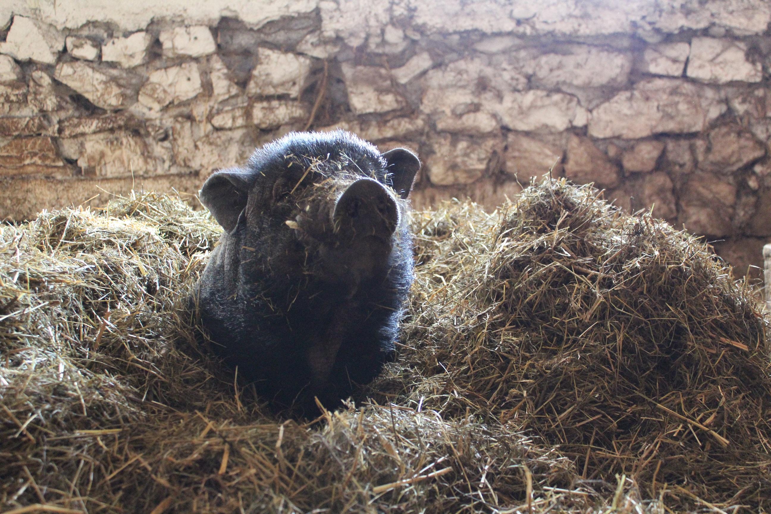 Ein Schweinchen im Strohhaufen